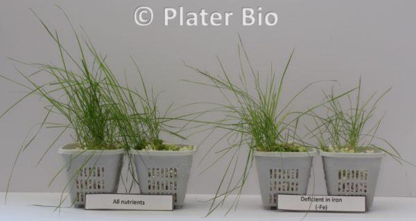 Turf grass nutrient deficiency symptoms
